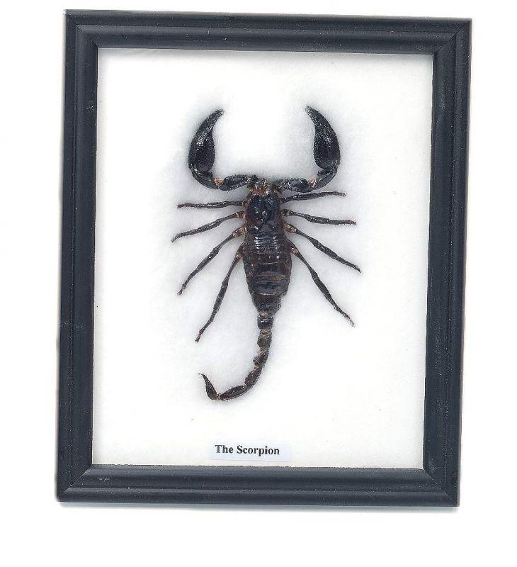 Preparovaný Škorpion v rámu, dekorace na zeď